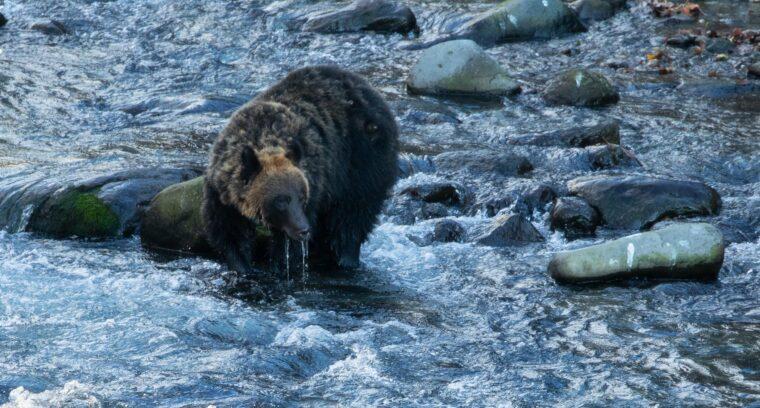 ヒグマ,クマ,熊,野生動物