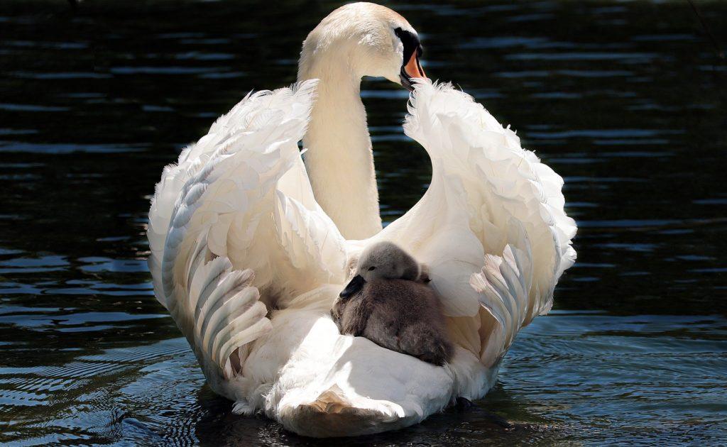 ブラックスワン,母性,グレートマザー